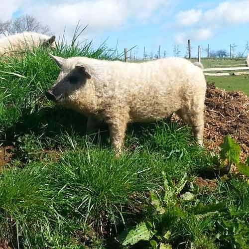 Lạ kỳ loài lợn mọc lông như cừu, biết chơi đùa như chó - 2