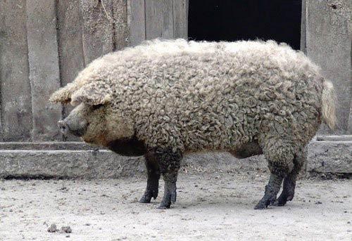 Lạ kỳ loài lợn mọc lông như cừu, biết chơi đùa như chó - 6