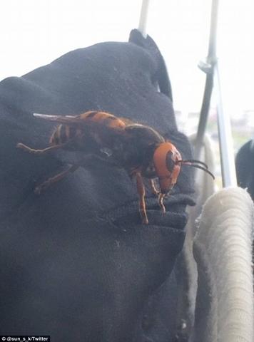 """Bắt được """"ong quái vật"""" dài 8cm ở Nhật - 2"""