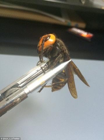 """Bắt được """"ong quái vật"""" dài 8cm ở Nhật - 3"""