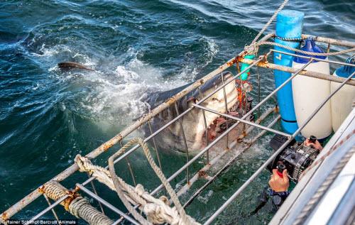 Cận cảnh cá mập khủng lao lên đớp mồi trên thành tàu - 2