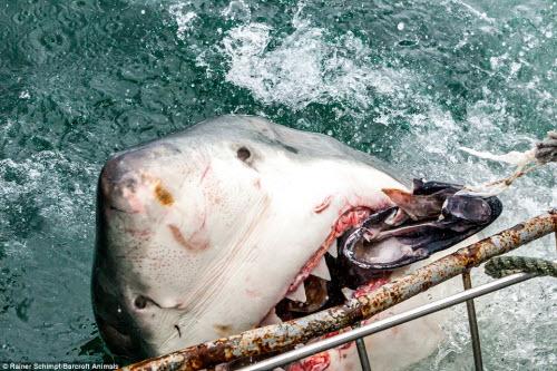 Cận cảnh cá mập khủng lao lên đớp mồi trên thành tàu - 3
