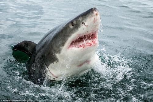 Cận cảnh cá mập khủng lao lên đớp mồi trên thành tàu - 4