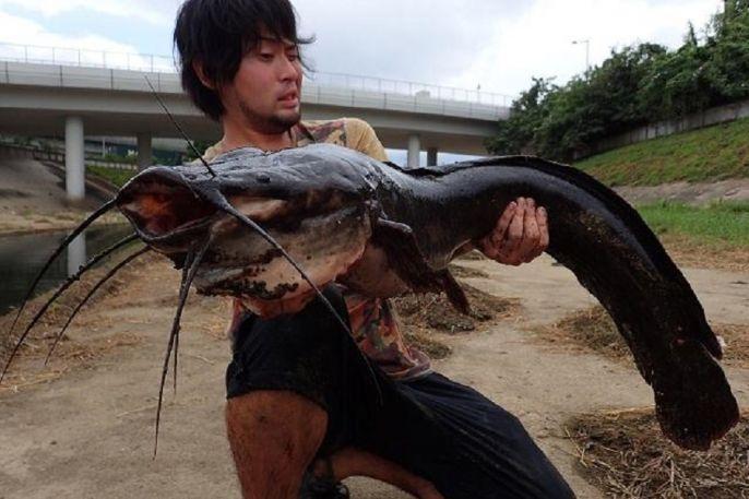Hồng Kông: Bắt được cá trê khổng lồ trên sông đen ngòm - 1