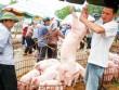 """Ồ ạt xuất khẩu lợn sang TQ: Coi chừng """"dội biên"""" như dưa hấu"""