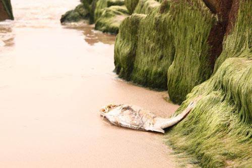 Cá chết hàng loạt ở Miền Trung - 1