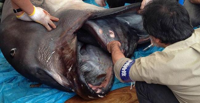 Cá mập miệng to (tên khoa học Megachasma pelagios) là một loài cá mập cực kì hiếm sống ở các vùng biển sâu. & nbsp;