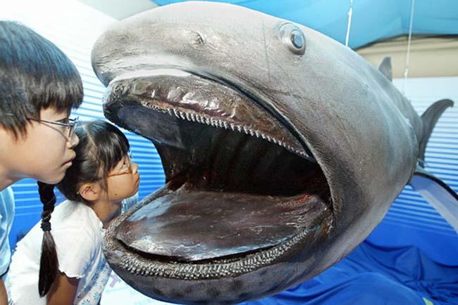 Từ lúc mới được phát hiện năm 1976 tới năm 2012, chỉ có 54 cá thể cá mập miệng to bị bắt được hoặc nhìn thấy được trên thế giới, trong đó có 3 cá thể được quay phim. & nbsp;