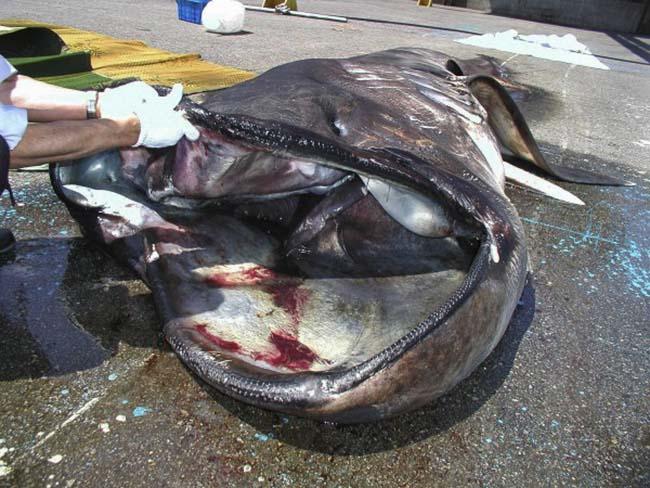 Giống như cá nhám voi hay cá nhám phơi nắng, cá mập miệng to ăn các sinh vật trôi nổi và sứa bằng cách lọc chúng lại trong bộ răng lược trong miệng; chúng luôn bơi với chiếc miệng mở to để hứng thức ăn.