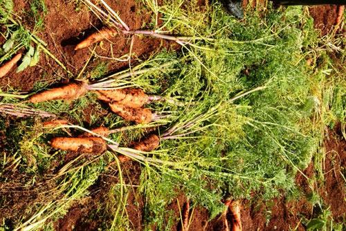 Nông dân Đà Lạt nhổ cà rốt cho... bò ăn - 2