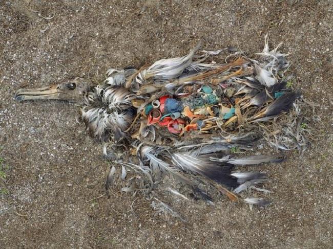 Một con chim hải âu chết do ăn quá nhiều nhựa ở Thái Bình Dương