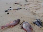 Tin tức trong ngày - Phó Thủ tướng yêu cầu làm rõ nguyên nhân cá biển chết bất thường