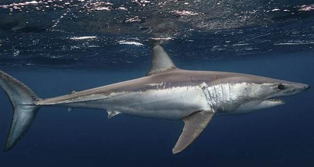 10 loài cá mập có hình thù kỳ lạ nhất thế giới - 2