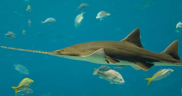 10 loài cá mập có hình thù kỳ lạ nhất thế giới - 4