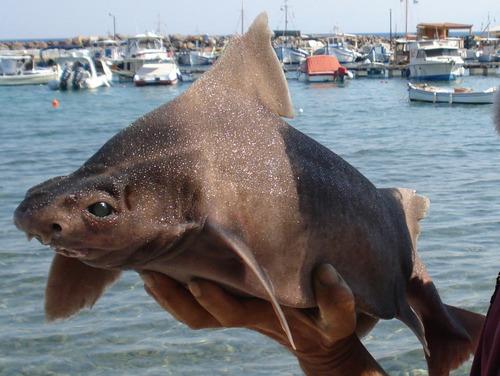 10 loài cá mập có hình thù kỳ lạ nhất thế giới - 3