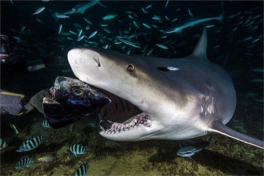 10 loài cá mập có hình thù kỳ lạ nhất thế giới - 6