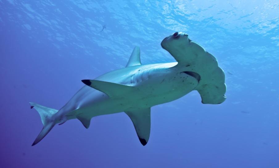 10 loài cá mập có hình thù kỳ lạ nhất thế giới - 9