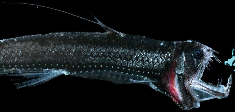 10 loài quái vật biển sâu kỳ dị nhất hành tinh - 8