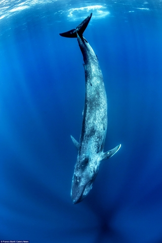 Choáng ngợp loài cá voi 170 tấn lớn nhất hành tinh - 5