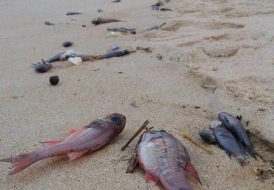 Cá chết hàng loạt ở Miền Trung - Có thể tiếp tục tái diễn - 1