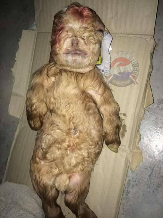 Dê mới đẻ có mặt mũi, hình dáng giống người ở Malaysia - 2