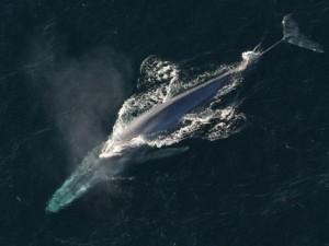Choáng ngợp loài cá voi 170 tấn lớn nhất hành tinh