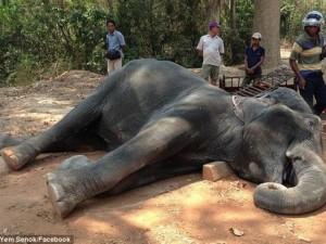 Voi đột quỵ vì làm việc quá sức ở Campuchia