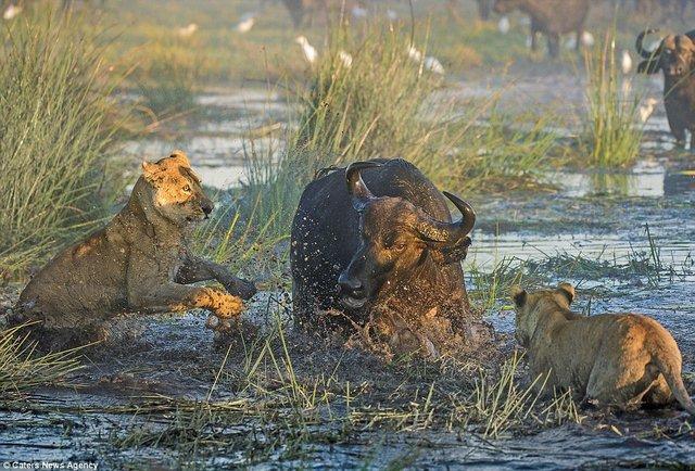 Trâu rừng bảo vệ nhau, húc sư tử hung hãn chết thảm - 2