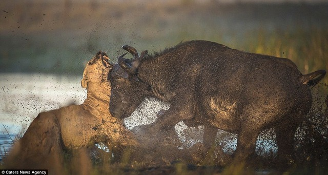 Trâu rừng bảo vệ nhau, húc sư tử hung hãn chết thảm - 3