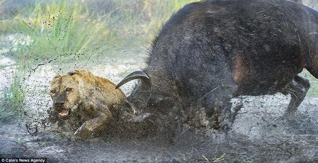 Trâu rừng bảo vệ nhau, húc sư tử hung hãn chết thảm - 4