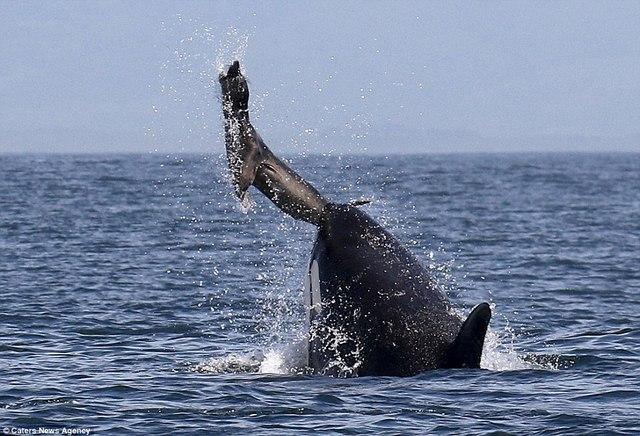 Cá voi sát thủ ném hải cẩu 2 tấn lên trời rồi xơi tái - 1