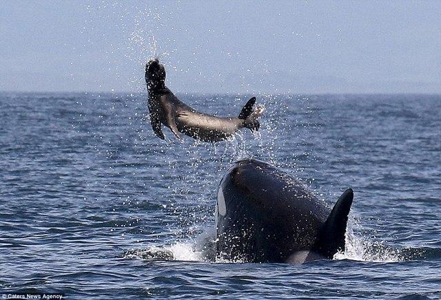 Cá voi sát thủ ném hải cẩu 2 tấn lên trời rồi xơi tái - 2