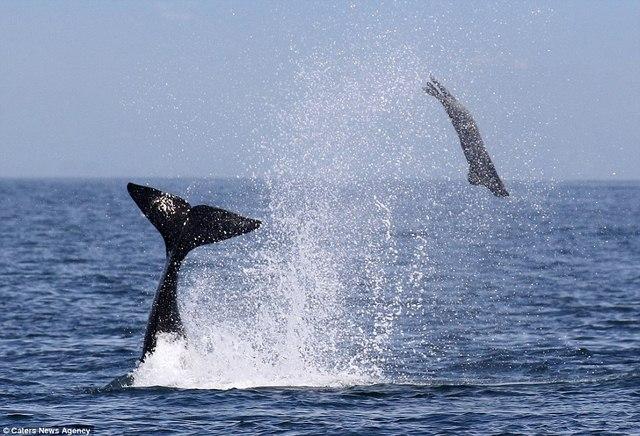 Cá voi sát thủ ném hải cẩu 2 tấn lên trời rồi xơi tái - 4