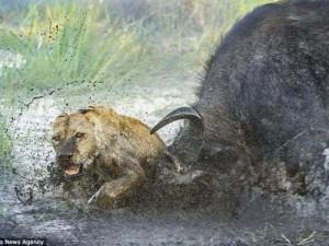 Trâu rừng bảo vệ nhau, húc sư tử hung hãn chết thảm