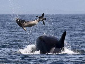 Cá voi sát thủ ném hải cẩu 2 tấn lên trời rồi xơi tái
