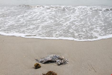 Cá chết hàng loạt ở Đà Nẵng - Xuất hiện cá chết dạt bờ - 1