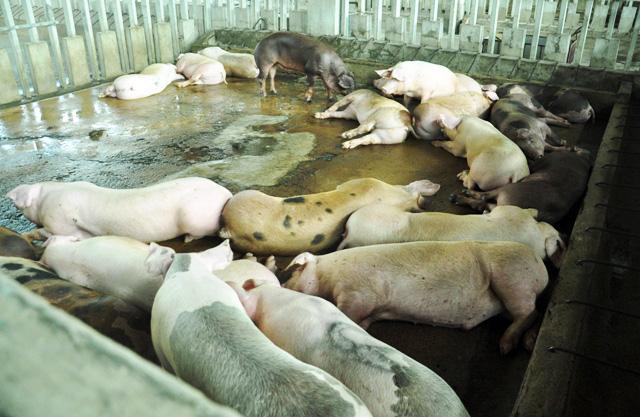 80 con heo ăn chất cấm được nhập vào Công ty Vissan - 2
