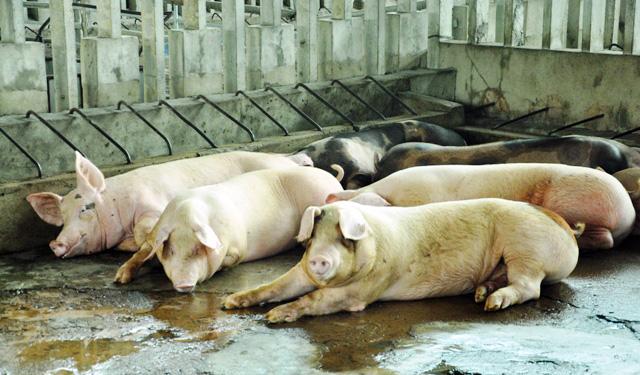 80 con heo ăn chất cấm được nhập vào Công ty Vissan - 4