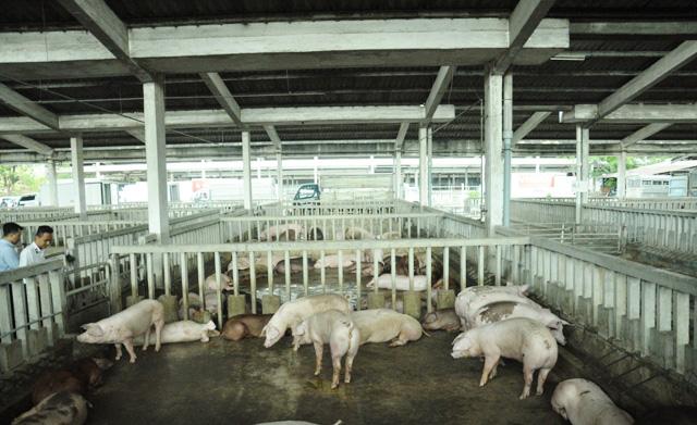 80 con heo ăn chất cấm được nhập vào Công ty Vissan - 5