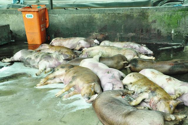 80 con heo ăn chất cấm được nhập vào Công ty Vissan - 10