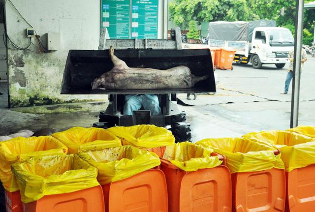80 con heo ăn chất cấm được nhập vào Công ty Vissan - 11