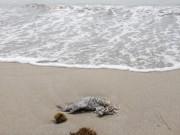 Tin tức trong ngày - Đà Nẵng xuất hiện cá chết trôi dạt vào bờ