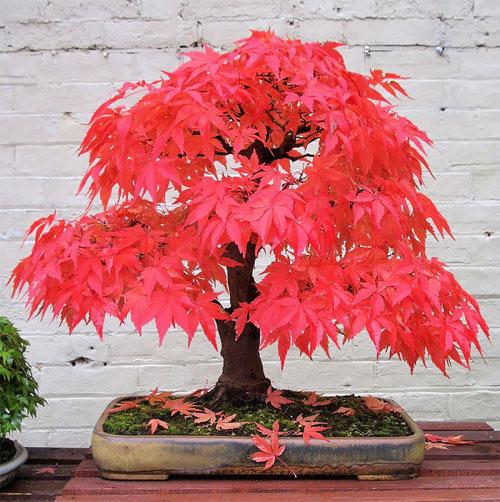 14 cây bon sai đẹp nhất thế giới - 4