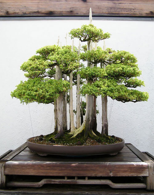 14 cây bon sai đẹp nhất thế giới - 7