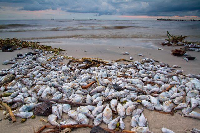 Thủy triều đỏ - Sự nguy hiểm của thủy triều đỏ khiến cá chết - 2