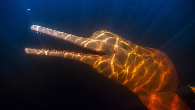 Tuyệt đẹp loài cá heo hồng cực hiếm trên sông Amazon - 1