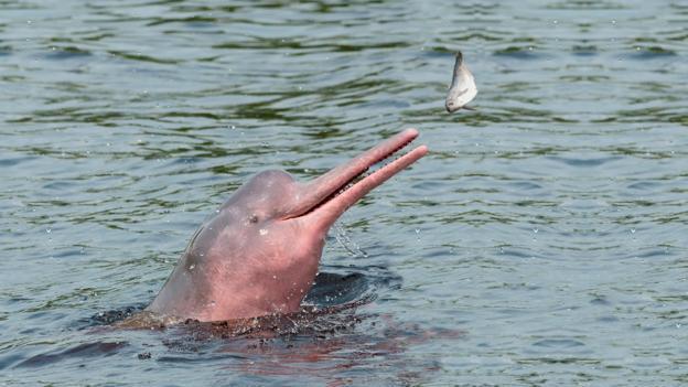 Tuyệt đẹp loài cá heo hồng cực hiếm trên sông Amazon - 5