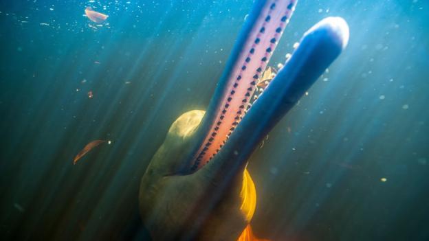 Tuyệt đẹp loài cá heo hồng cực hiếm trên sông Amazon - 4