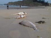 Tin tức trong ngày - Cấm kinh doanh, tiêu thụ cá chết bất thường tại miền Trung