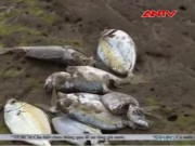 Video An ninh - Cá chết hàng loạt ở Huế: Do nhiễm độc kim loại nặng